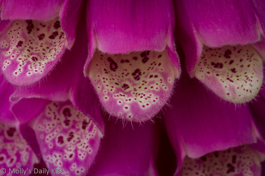 Close up of foxgloves