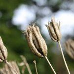 Aqualiqua seed pods