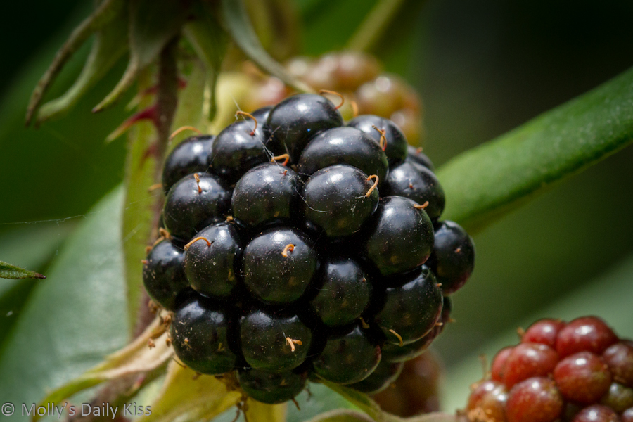 Macro shot of Blackberry