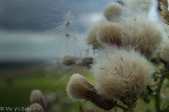 thistle fluff seed macro