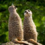 Meercat friends