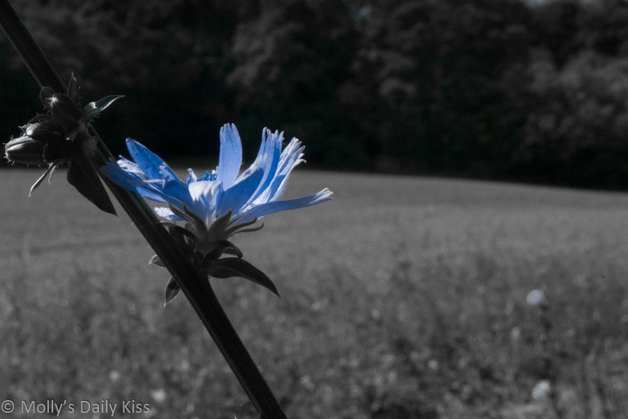 Blue cornflower against plowed field