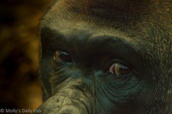 Close up shots of Gorilla eyes