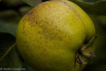 Ripe Quince fruit