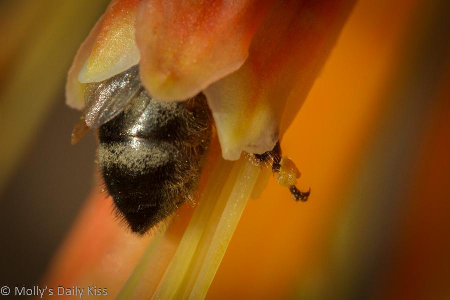 Bee inside flower
