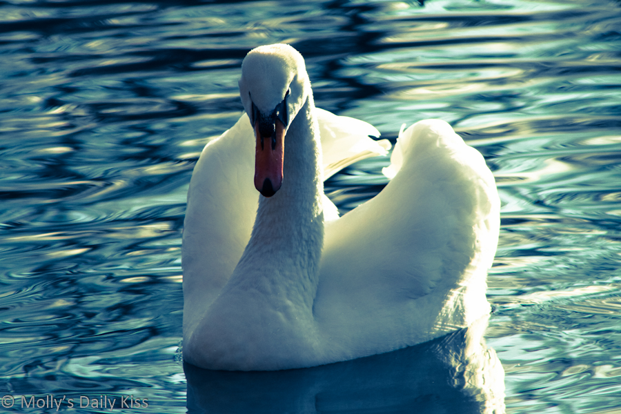 Beautiful swan on the water