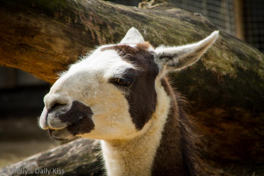 Hairy Llama London Zoo