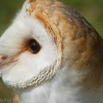 Close up of barn owl