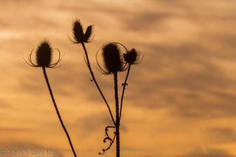sunset behind winter thistle