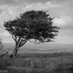 Leaning tree on Devils Dyke Brighton
