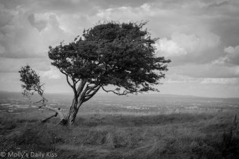 Leaning tree on Devils Dyke Brighton