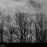 Row of trees in winter all reaching for the sky