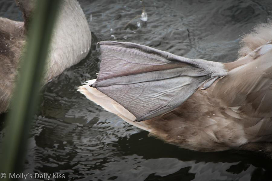 Webbed swan foot