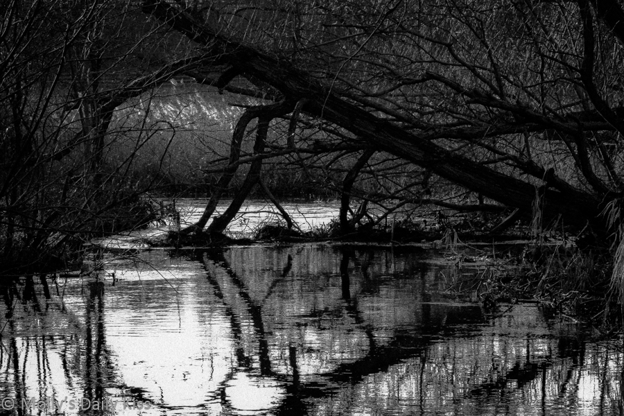 Trees fallan and reflected in river Lee