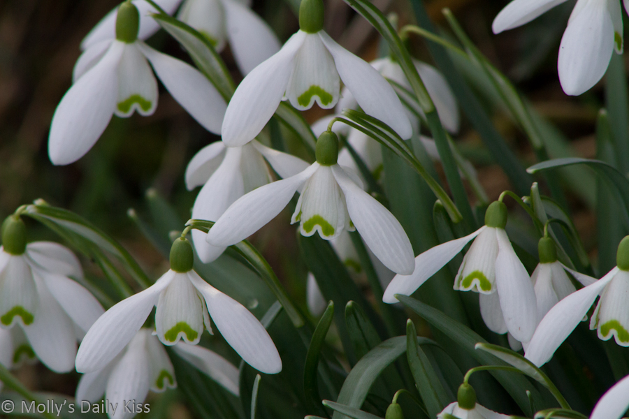 Close up of snow drops