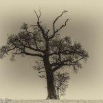 Winter tree in white landscape edit