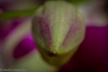 Orchid bud macro