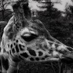 Black and white of Giraffe head