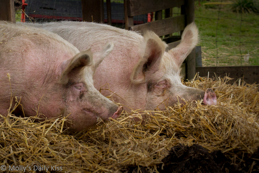 Two pigs laying in hay