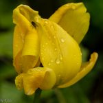Tulip falling apart with droplet of water
