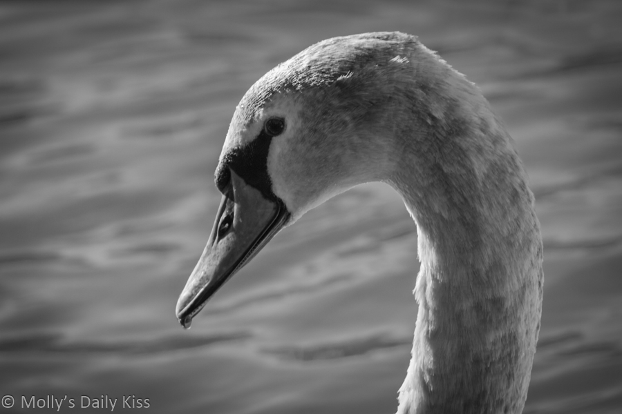 Profile of swan in black and white