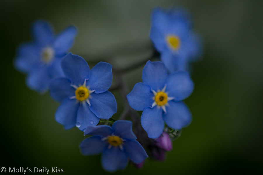 Macro shot of forget me nots