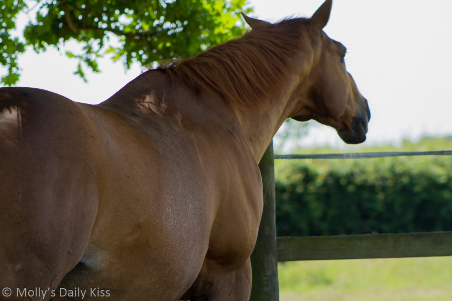 Brown horse flank muscles