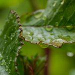 Droplet of rain on rose leaves