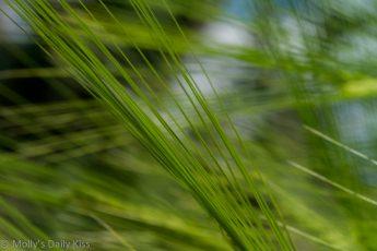 macro shot of wheat