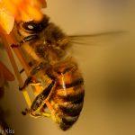 Bee in golden red hot poker flower