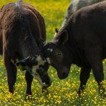 Two cows in buttercup field rubbing heads