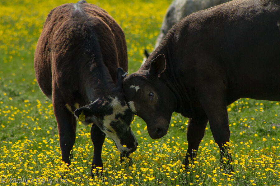 Two cows in buttercup field rubbing heads