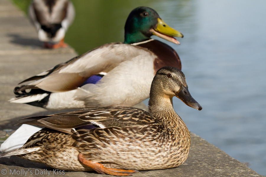 Duck couple sitting on wall