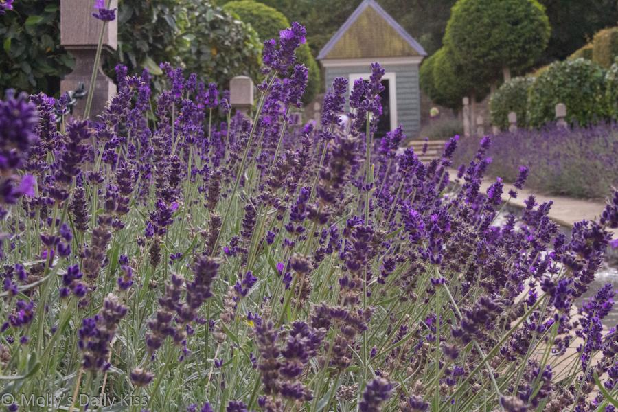 Lavender bushes in garden
