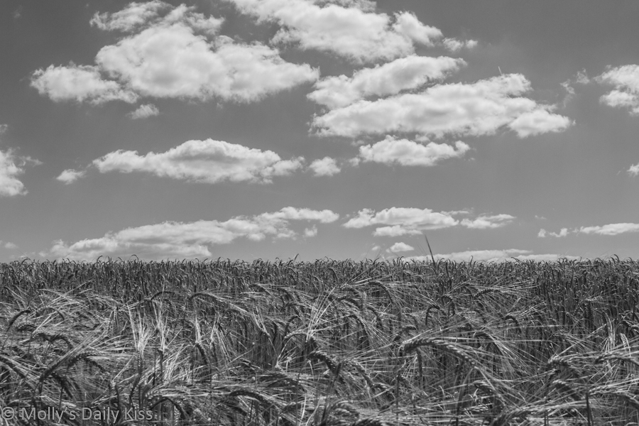 Black and White of wheat field