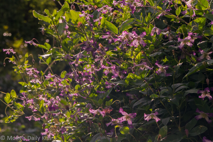 Clematis in sunshine