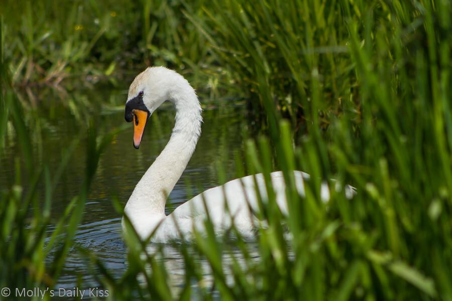 Beautiful swan through the reeds