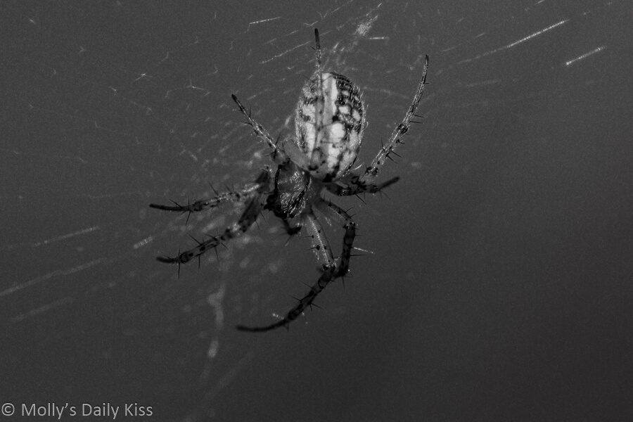 Spider in web in Black and white