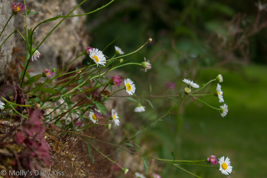 Daisys growing in the garden wall