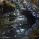 macro of frog in water