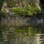 Moss on rock reflected in the water