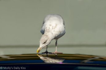 Sea gull reflected in car roof
