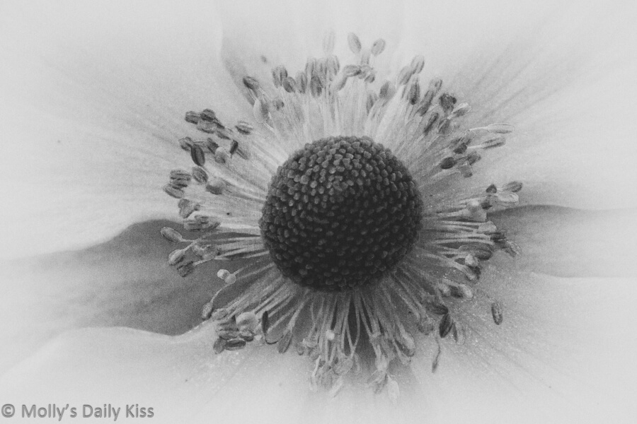 Seed head of flower in black and white