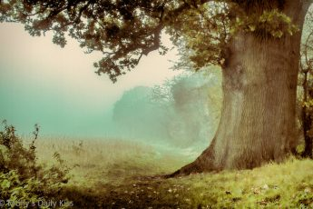 Giant Oak in Autumn mist
