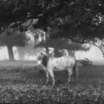 Horse in the mist in black and white