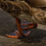 Ducks webbed feet
