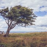 tree leaning into the wind on Devil's Dyke