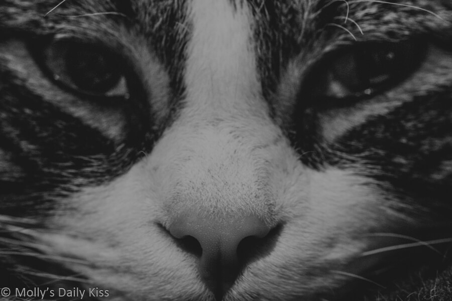 Black and white close up of tabby cat face