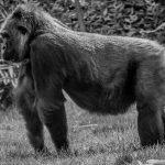 Black and white of Silver back gorilla