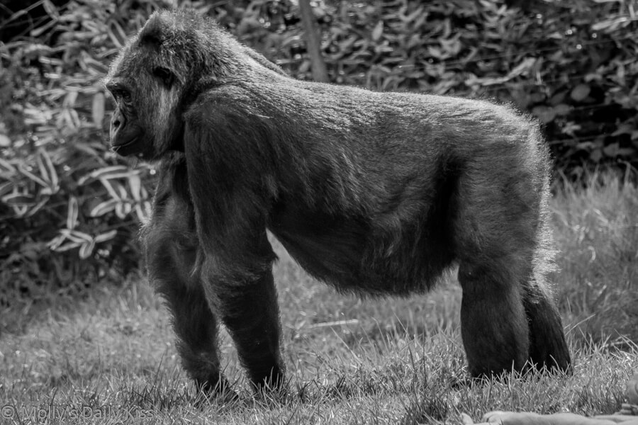 Black and white of Silver back gorilla